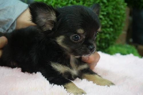 チワワ(ロング)の子犬(ID:1231011269)の3枚目の写真/更新日:2017-06-09