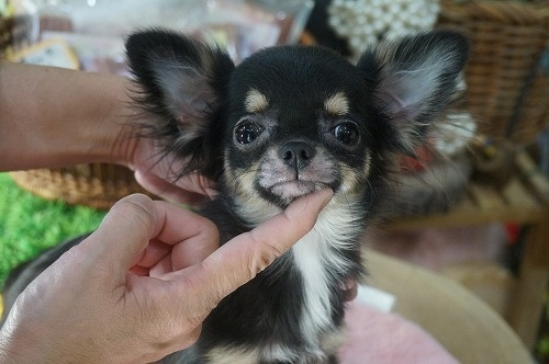 チワワ(ロング)の子犬(ID:1231011269)の4枚目の写真/更新日:2017-09-26