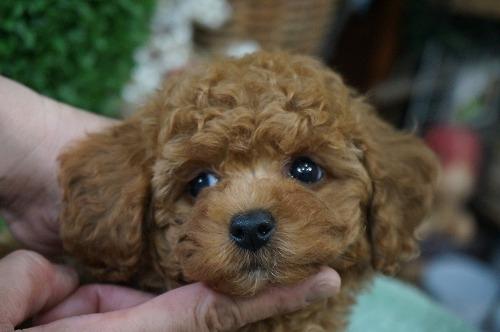 トイプードルの子犬(ID:1231011270)の1枚目の写真/更新日:2017-06-13