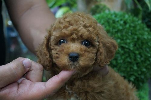 トイプードルの子犬(ID:1231011270)の2枚目の写真/更新日:2017-07-04