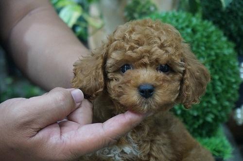 トイプードルの子犬(ID:1231011270)の3枚目の写真/更新日:2017-07-04