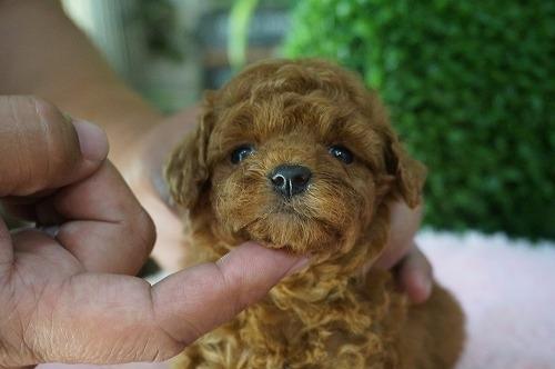 トイプードルの子犬(ID:1231011271)の1枚目の写真/更新日:2017-06-13