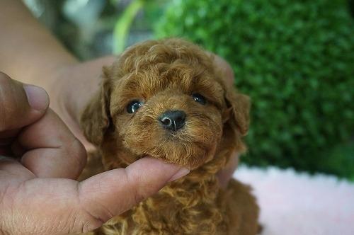 トイプードルの子犬(ID:1231011271)の2枚目の写真/更新日:2017-06-13