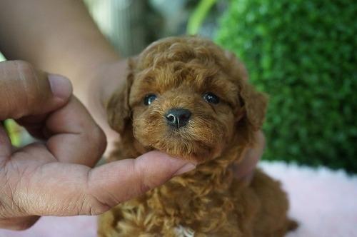 トイプードルの子犬(ID:1231011271)の3枚目の写真/更新日:2017-06-13