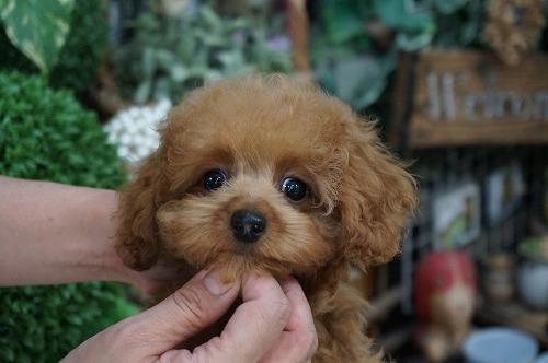 トイプードルの子犬(ID:1231011272)の2枚目の写真/更新日:2017-08-03