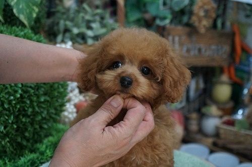 トイプードルの子犬(ID:1231011272)の3枚目の写真/更新日:2017-08-03