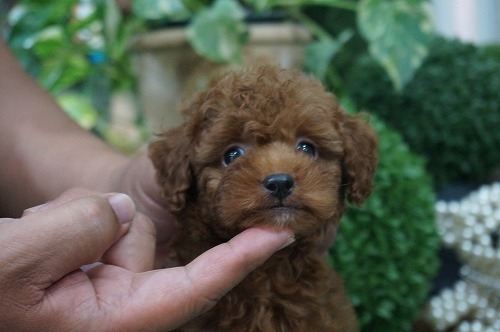 トイプードルの子犬(ID:1231011273)の1枚目の写真/更新日:2017-07-04