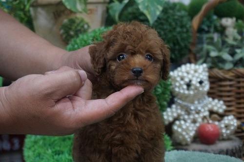 トイプードルの子犬(ID:1231011273)の2枚目の写真/更新日:2017-07-04