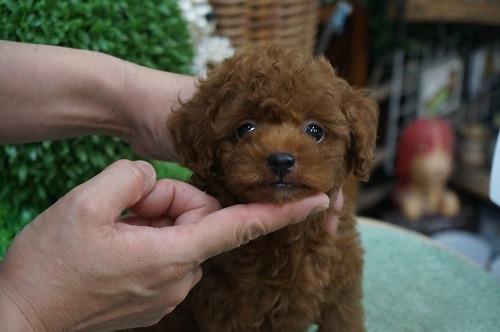 トイプードルの子犬(ID:1231011273)の3枚目の写真/更新日:2017-06-18