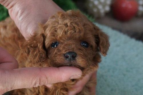 トイプードルの子犬(ID:1231011274)の1枚目の写真/更新日:2017-06-18
