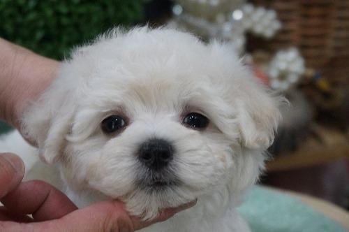 ミックスの子犬(ID:1231011275)の1枚目の写真/更新日:2017-06-21