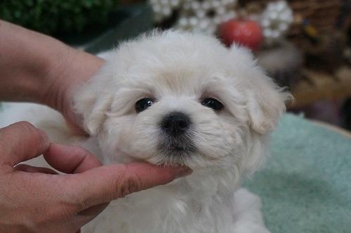 ミックスの子犬(ID:1231011275)の2枚目の写真/更新日:2017-06-21