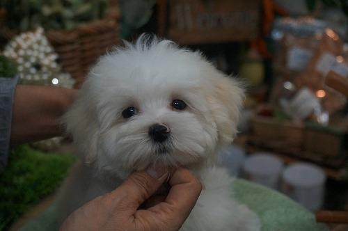 ミックスの子犬(ID:1231011276)の3枚目の写真/更新日:2017-06-23