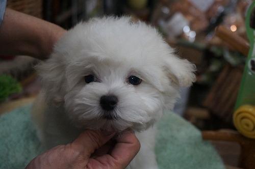 マルチーズの子犬(ID:1231011277)の2枚目の写真/更新日:2017-07-15