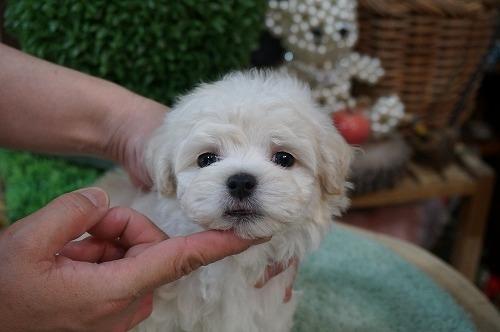 マルチーズの子犬(ID:1231011277)の3枚目の写真/更新日:2017-06-23