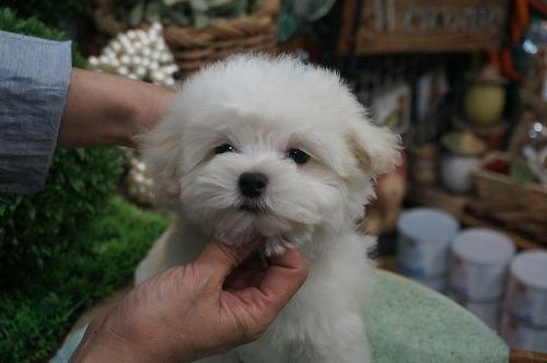 マルチーズの子犬(ID:1231011277)の4枚目の写真/更新日:2017-07-15