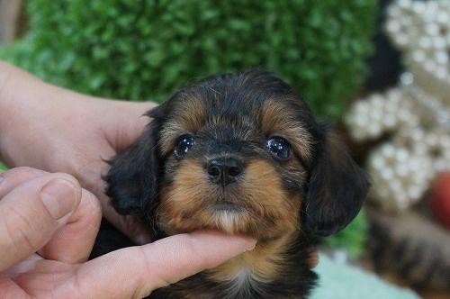 ミックスの子犬(ID:1231011280)の1枚目の写真/更新日:2017-06-29