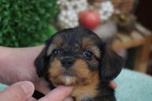 ミックスの子犬(ID:1231011280)の2枚目の写真/更新日:2017-06-29