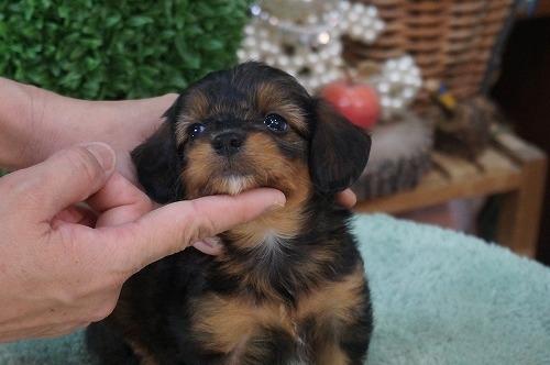 ミックスの子犬(ID:1231011280)の3枚目の写真/更新日:2017-06-29