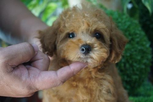 トイプードルの子犬(ID:1231011284)の2枚目の写真/更新日:2017-07-11