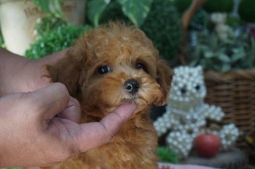 トイプードルの子犬(ID:1231011284)の3枚目の写真/更新日:2017-07-11