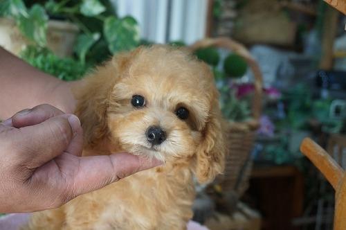 トイプードルの子犬(ID:1231011285)の1枚目の写真/更新日:2017-07-11