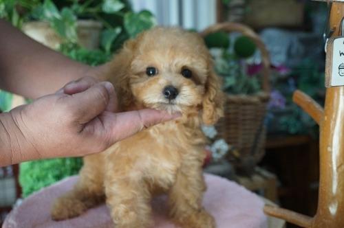 トイプードルの子犬(ID:1231011285)の2枚目の写真/更新日:2017-07-11