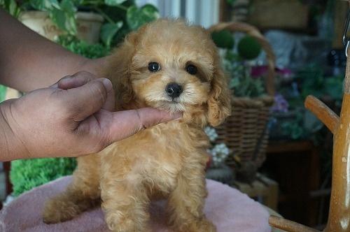 トイプードルの子犬(ID:1231011285)の3枚目の写真/更新日:2017-07-11