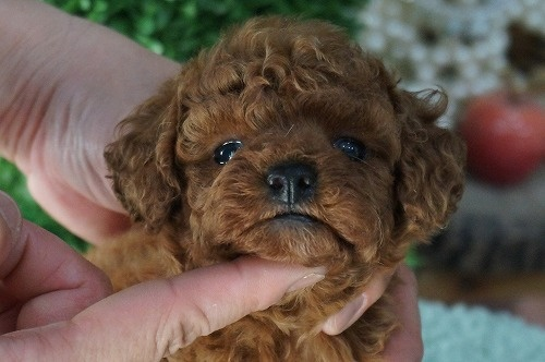 トイプードルの子犬(ID:1231011286)の1枚目の写真/更新日:2017-07-20