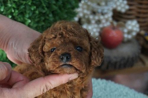 トイプードルの子犬(ID:1231011286)の2枚目の写真/更新日:2017-07-20