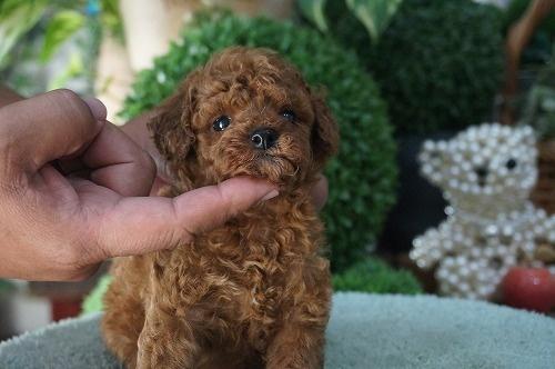 トイプードルの子犬(ID:1231011286)の3枚目の写真/更新日:2017-07-20