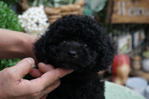 トイプードルの子犬(ID:1231011287)の1枚目の写真/更新日:2017-08-05