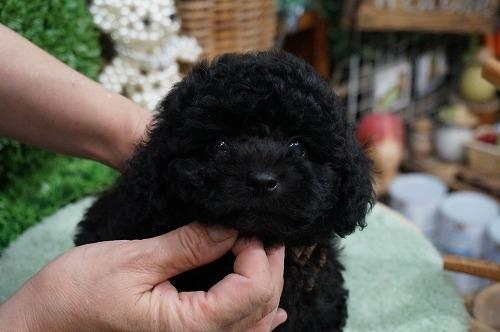 トイプードルの子犬(ID:1231011287)の2枚目の写真/更新日:2017-08-05