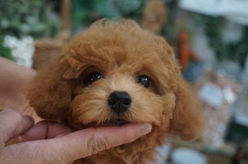 トイプードルの子犬(ID:1231011288)の2枚目の写真/更新日:2017-08-31