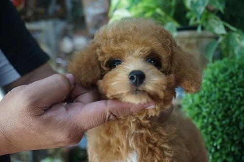 トイプードルの子犬(ID:1231011288)の3枚目の写真/更新日:2017-08-31