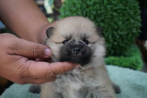 ポメラニアンの子犬(ID:1231011289)の3枚目の写真/更新日:2017-08-03