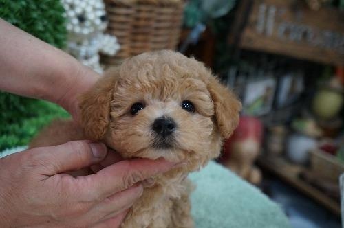 トイプードルの子犬(ID:1231011290)の2枚目の写真/更新日:2017-08-12