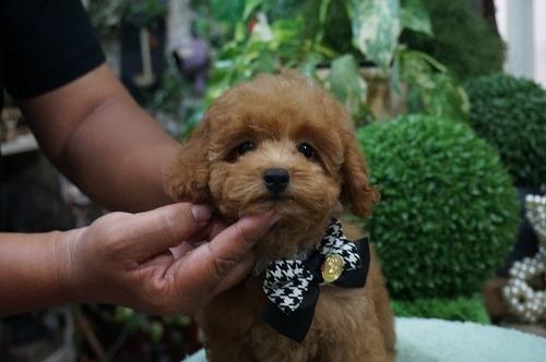 トイプードルの子犬(ID:1231011291)の2枚目の写真/更新日:2017-09-14