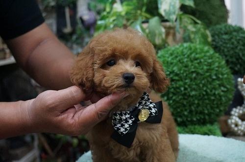 トイプードルの子犬(ID:1231011291)の3枚目の写真/更新日:2017-08-12