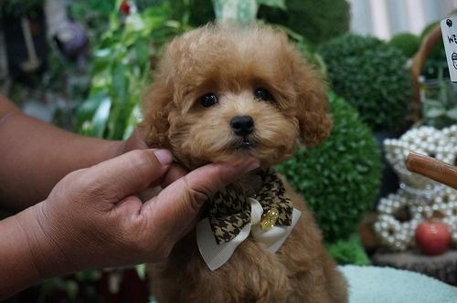 トイプードルの子犬(ID:1231011292)の2枚目の写真/更新日:2017-09-14