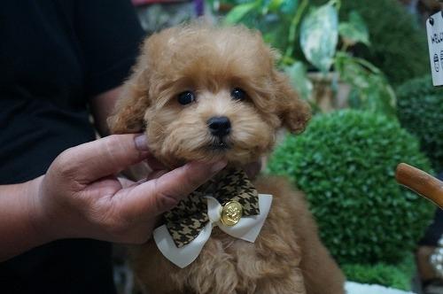 トイプードルの子犬(ID:1231011292)の3枚目の写真/更新日:2017-08-12