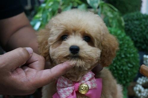 トイプードルの子犬(ID:1231011293)の1枚目の写真/更新日:2017-09-14