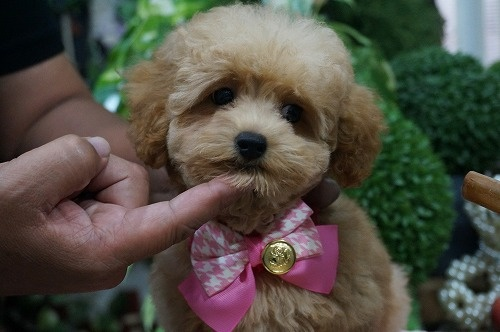 トイプードルの子犬(ID:1231011293)の2枚目の写真/更新日:2017-08-13