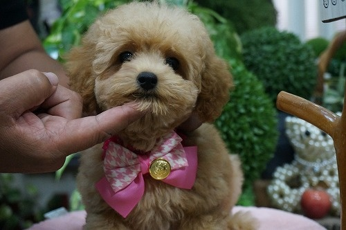 トイプードルの子犬(ID:1231011293)の3枚目の写真/更新日:2017-09-14