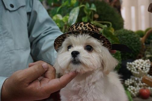 ミックスの子犬(ID:1231011295)の1枚目の写真/更新日:2017-11-04