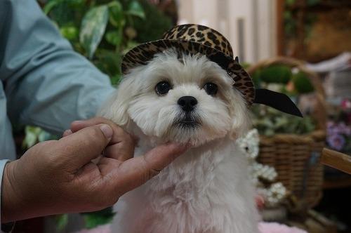 ミックスの子犬(ID:1231011295)の3枚目の写真/更新日:2017-11-04