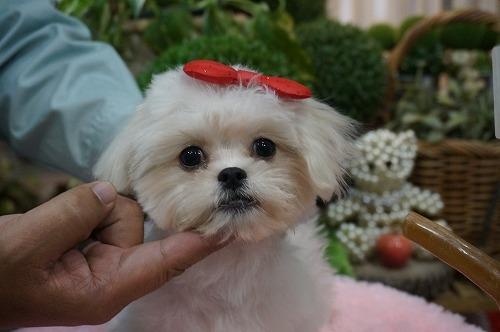 ミックスの子犬(ID:1231011296)の2枚目の写真/更新日:2017-11-04