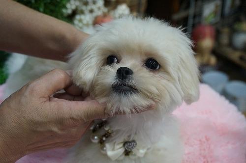 ミックスの子犬(ID:1231011297)の1枚目の写真/更新日:2017-11-04