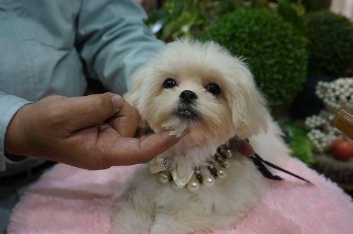 ミックスの子犬(ID:1231011297)の2枚目の写真/更新日:2017-11-04
