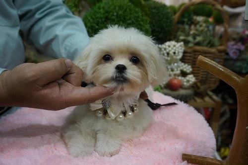 ミックスの子犬(ID:1231011297)の3枚目の写真/更新日:2017-11-04